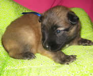 Dumaji Malinois Litter 2008 Blue