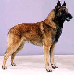Malinois Shepherd